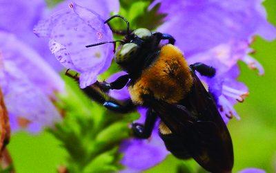 Precious Pollinators