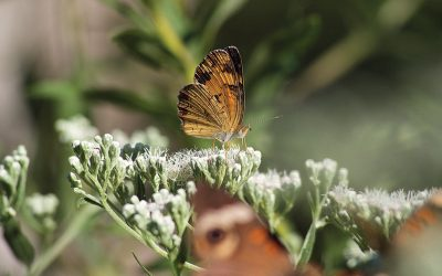 Late boneset: A fragrant late-summer pollinator favorite